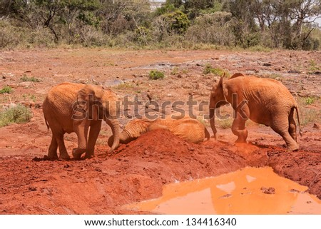 Three baby elephants play each other on red clay heap near pool with trees and bushes in background. Sheldrick Elephant Orphanage in Nairobi, Kenya. - stock photo