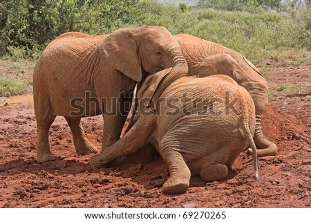 Three baby elephants play each other on red clay heap with bushes in background. Sheldrick Elephant Orphanage in Nairobi, Kenya. - stock photo