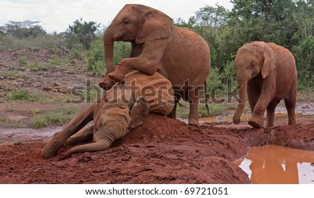 Three baby elephants play each other on the clay heap near the muddy pool with trees and bushes in background. Sheldrick Elephant Orphanage in Nairobi, Kenya. - stock photo