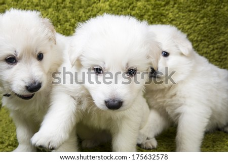 Three baby swiss shepherd sitting in green wash