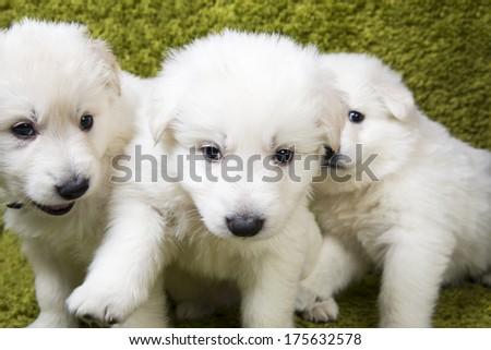 Three baby swiss shepherd sitting in green wash - stock photo