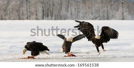 Three Bald Egles (HALIAEETUS LEUCOCEPHALUS) eat a salmon on snow - stock photo