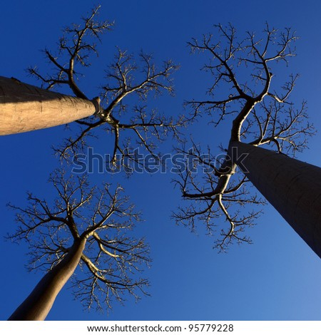 three baobab trees photographed with perspective from below with blue sky background - stock photo