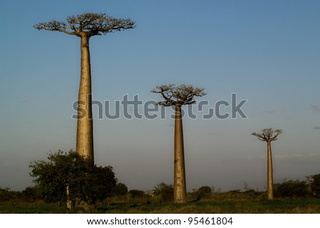 three baobab trees photographed with perspective with blue sky background - stock photo