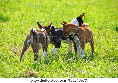 three basenji dogs sniffing each other  - stock photo
