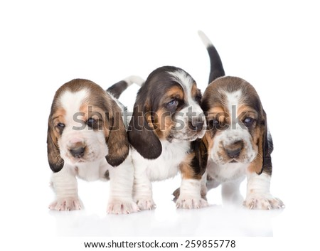 Three basset hound puppies standing in front. isolated on white background