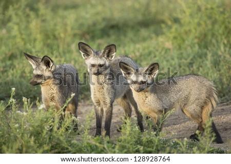 Three Bat-eared foxes in the Ndutu area of Tanzania's serengeti National Park - stock photo