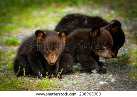 Three bear cubs look for food in the mountains of western North Carolina.
