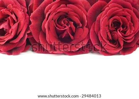 Three beautiful home grown deep red roses in a row, white background with copy space, great for Valentine's Day