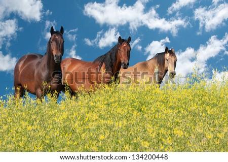 Three beautiful horses fenced away from the canola field - stock photo