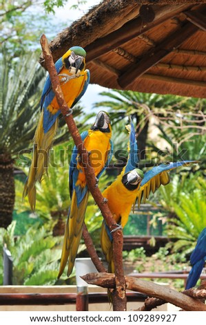 three beautiful macaw birds sitting on a branch one at the top eating a piece of wood and one at the bottom stretching his wings out next to his friends with trees and foliage behind them