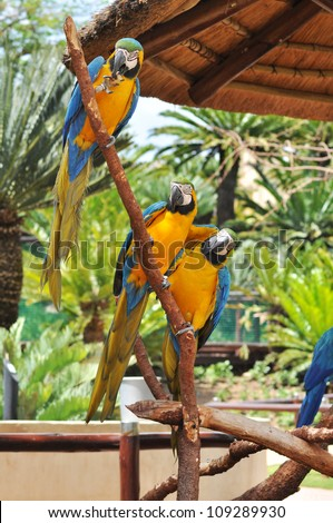 three beautiful macaw birds sitting on a branch one at the top eating a piece of wood and one  at the bottom placing his wing over his friend with trees and foliage behind them