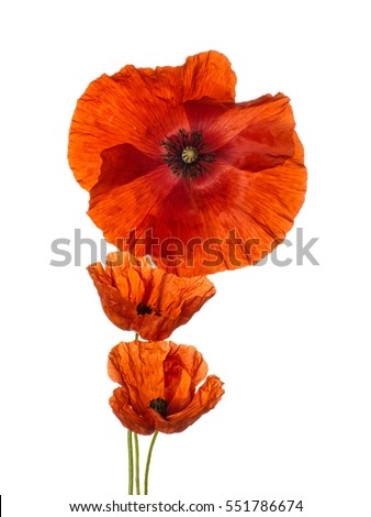 Three beautiful red Flanders poppies.Isolated on white.