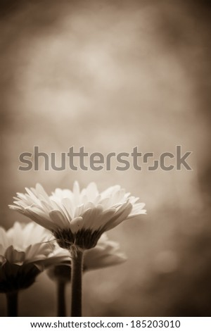 Three beautiful red gerbera and fluff . Aged photo. Sepia. Shadowed angles. - stock photo
