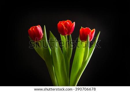 Three beautiful red tulips on black background - stock photo