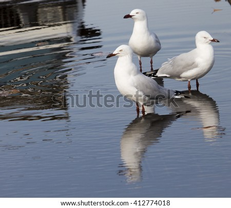 Three  beautiful seagulls  seabirds of the family Laridae in the sub-order Lari  reflected in the  puddle are  enjoying a cool sip of water  in the parking area of the park on a summer afternoon. - stock photo