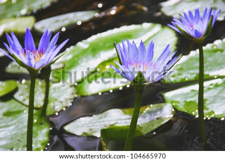 Three beautiful water lilies on the water - stock photo