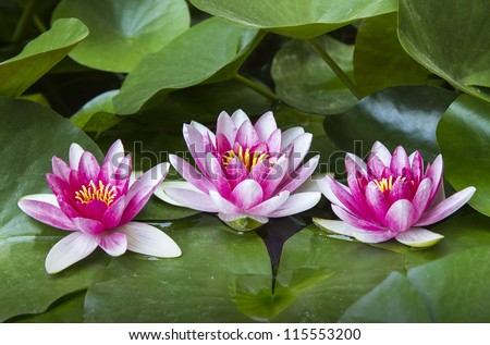 Three beautiful water lily - stock photo