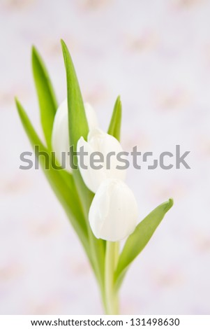 Three beautiful white tulips close up