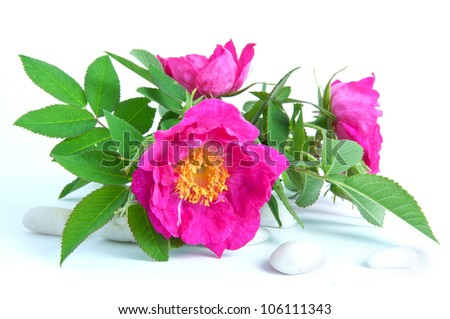 three beautiful wild rose on white background