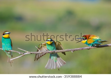 three bee-eaters argue on a branch on a beautiful background - stock photo