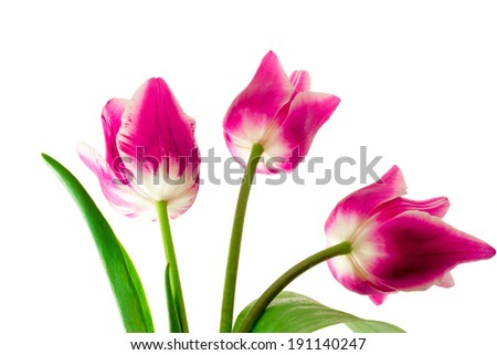 Three big beautiful tulips of bright pink color with green leaves on a white background.