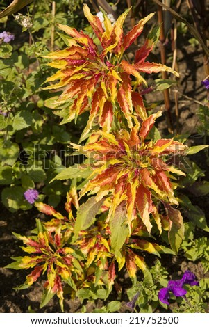 Three big flowers coleus of mixed red and yellow colors, vertical. - stock photo
