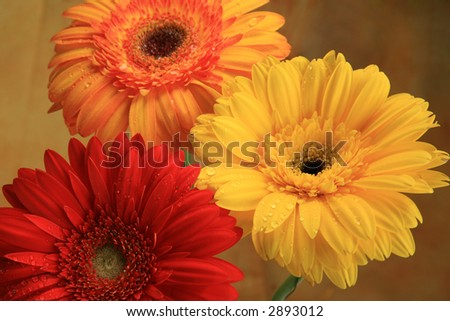 Three big orange ,yellow and red  Gerber daises on gold background