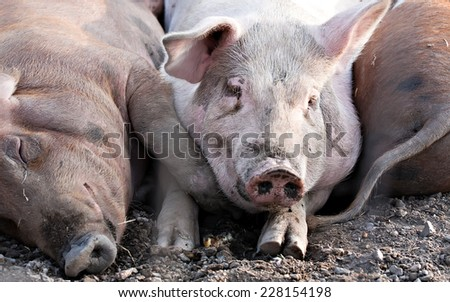 three big pigs laying together on the ground - stock photo
