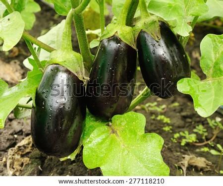 three big purple eggplants growing on the bush - stock photo