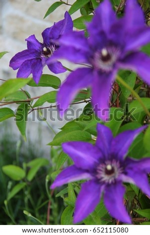 Three big purple flowers named clematis stock photo edit now three big purple flowers named clematis or president flower mightylinksfo