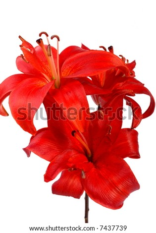 Three big red lilies on brown stem isolated