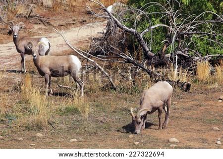 Three bighorn sheep graze within Joshua Tree National Park, California. - stock photo