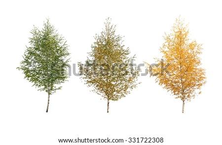 three birch tree isolated  - stock photo
