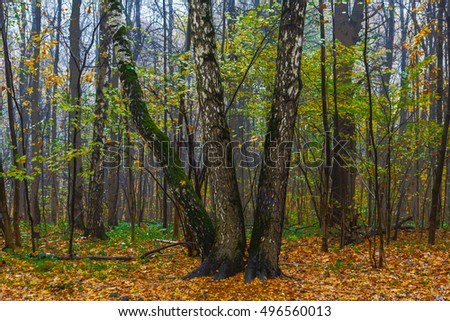 Three birches in the wood in a fall season