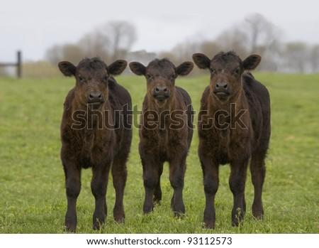 Cute Black Angus Calves