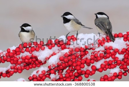 Three Black- capped Chickadees (Poecile atricapillus) on a snowy branch loaded with bright red berries.   - stock photo