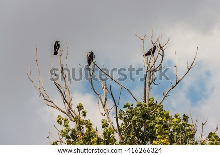 Three black crows on a branch - stock photo