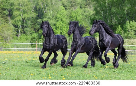 Friesian Horse Galloping Horse Galloping on Meadow