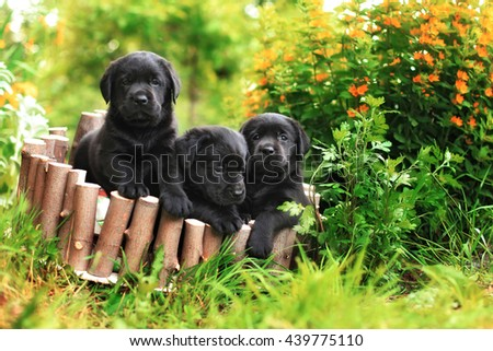 three black Labrador puppy in the summer sitting in a wooden box
