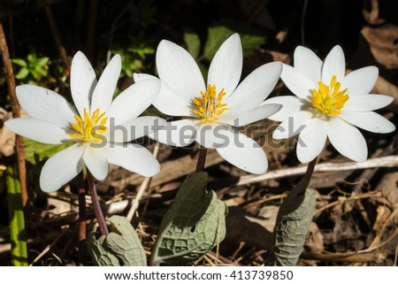 Three Bloodroot flowers blooming together on the forest floor.