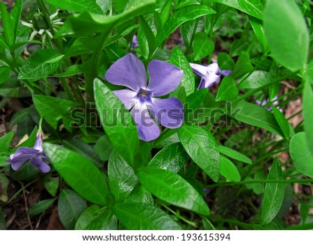 Three blossoming blue flower periwinkle between leaves - stock photo