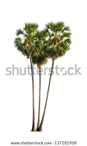 Three borassus flabellifer trees, known by several common names, including Asian Palmyra palm, Toddy palm, Sugar palm, or Cambodian palm, tropical tree isolated on white background - stock photo