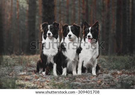 Three border collie in the forest