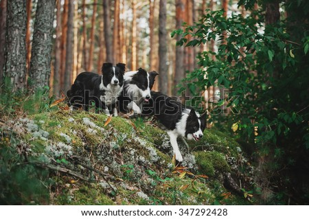 Three border collie running in the woods