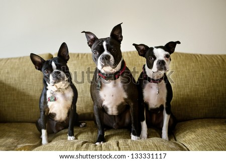 Three Boston Terriers sitting on green couch
