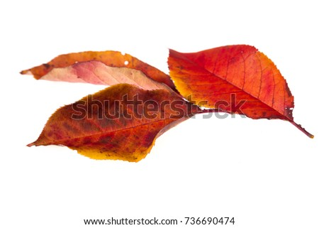 Three bright autumn leaves isolated on white