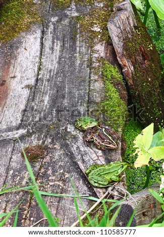 Three bright frogs on the old mossy board