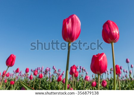Three bright red tulips in the morning sunshine at a tulip farm in Oregon with a blue sky background.