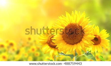 Three bright yellow sunflowers on blurred sunny background